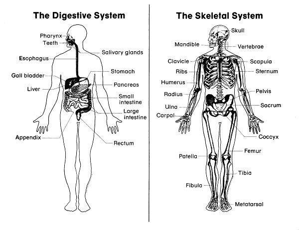 All Worksheets Digestive System Worksheets Printable – Digestive System Worksheet High School